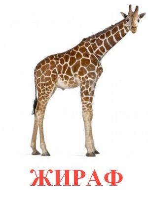 C:\Users\Андрей\Desktop\картинки к уроку\дикие животные\жираф.jpg