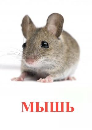 C:\Users\Андрей\Desktop\картинки к уроку\дикие животные\мышь.jpg