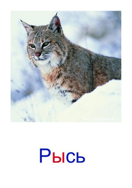 C:\Users\Андрей\Desktop\картинки к уроку\дикие животные\08.jpg