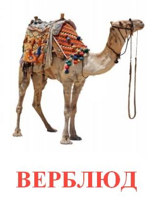 C:\Users\Андрей\Desktop\картинки к уроку\дикие животные\верблюд.jpg