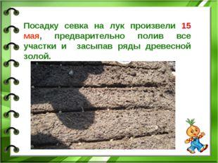Посадку севка на лук произвели 15 мая, предварительно полив все участки и зас