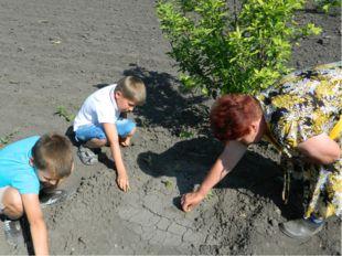 В первый год исследовательской работы мы взяли шесть крупных луковиц и посади