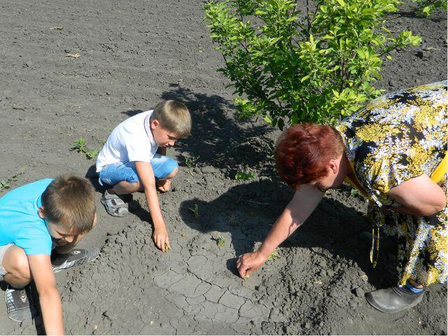В первый год исследовательской работы мы взяли шесть крупных луковиц и посади...