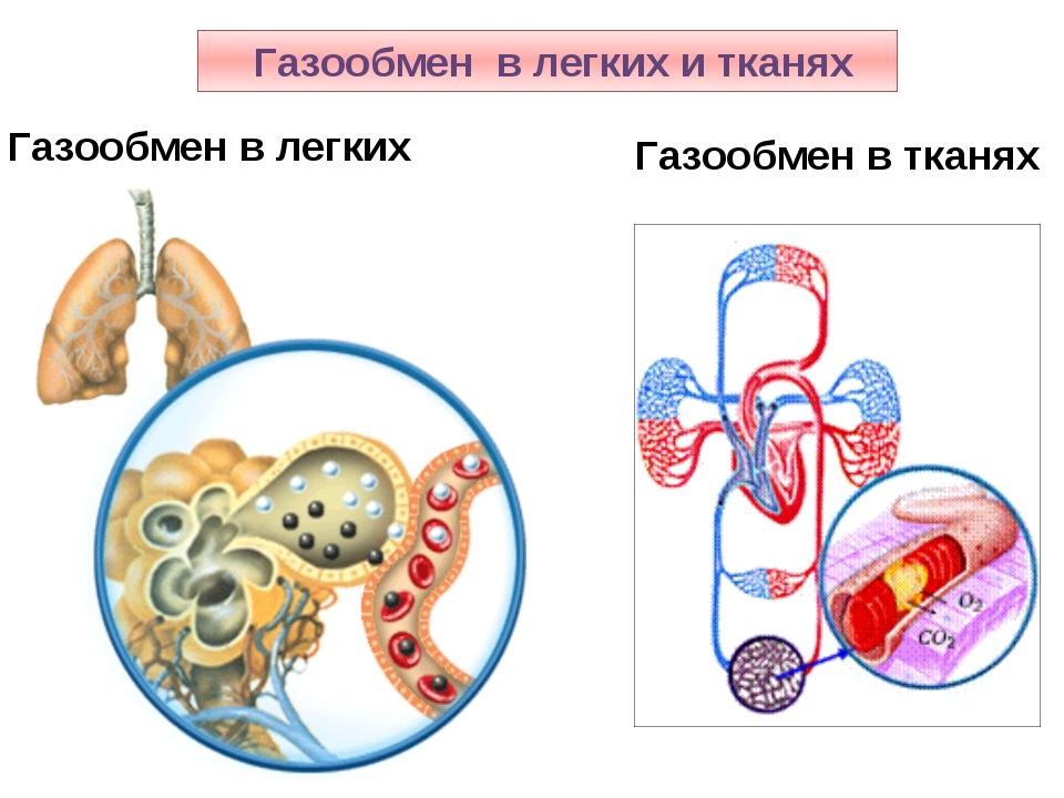 Газообмен в легких и тканях Газообмен в легких Газообмен в тканях