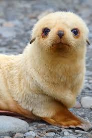 Морской котик.jpg
