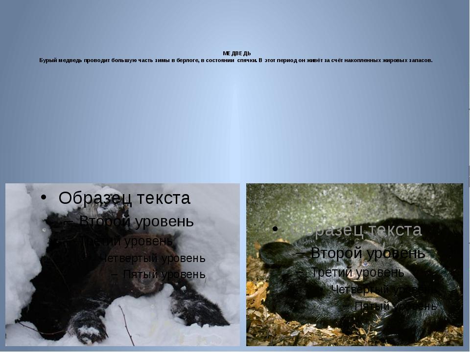МЕДВЕДЬ Бурый медведьпроводит большую часть зимы в берлоге, в состоянии с...