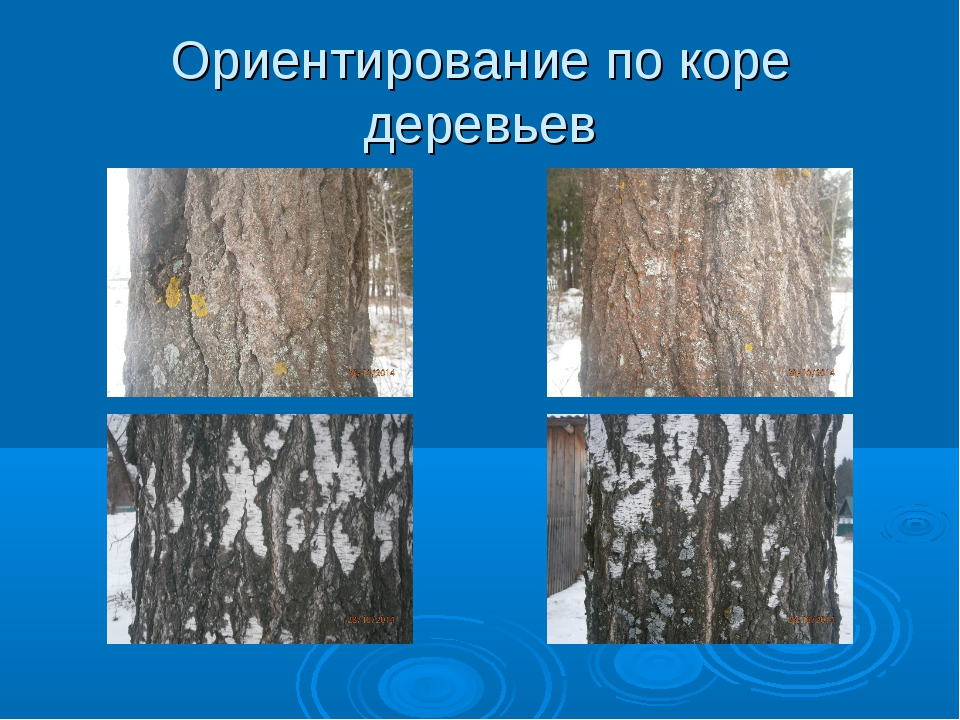 Ориентирование по коре деревьев