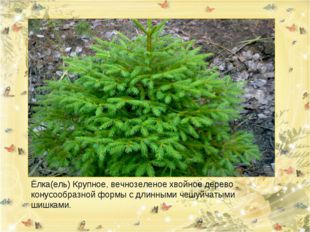 Ёлка(ель) Крупное, вечнозеленое хвойное дерево конусообразной формы с длинным