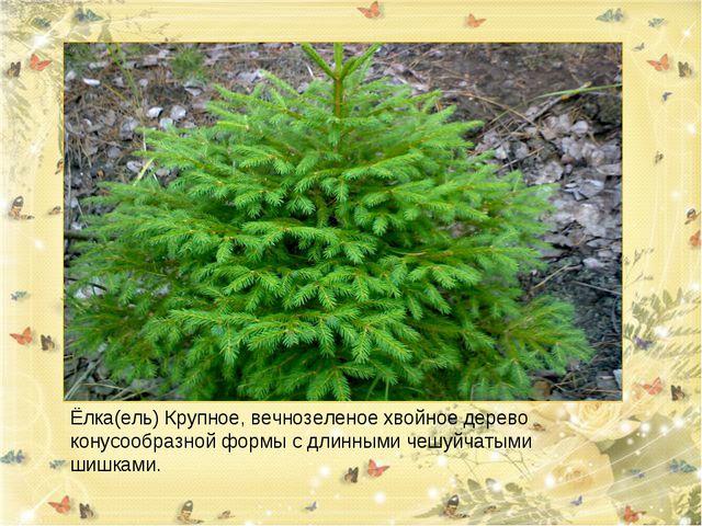 Ёлка(ель) Крупное, вечнозеленое хвойное дерево конусообразной формы с длинным...