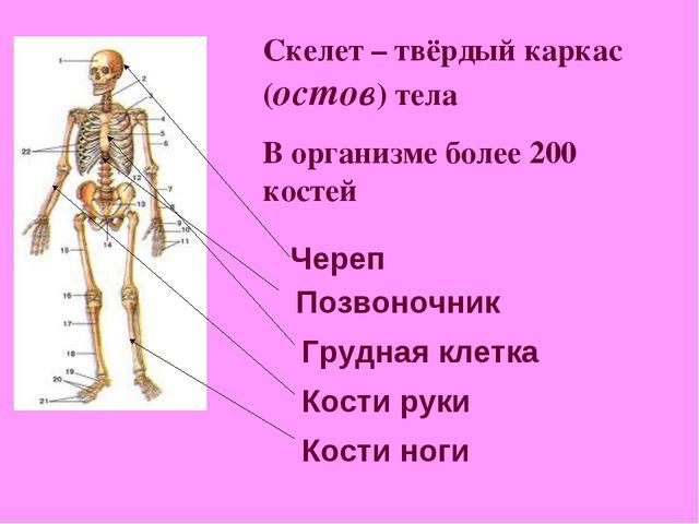 Скелет – твёрдый каркас (остов) тела В организме более 200 костей Череп Позво...