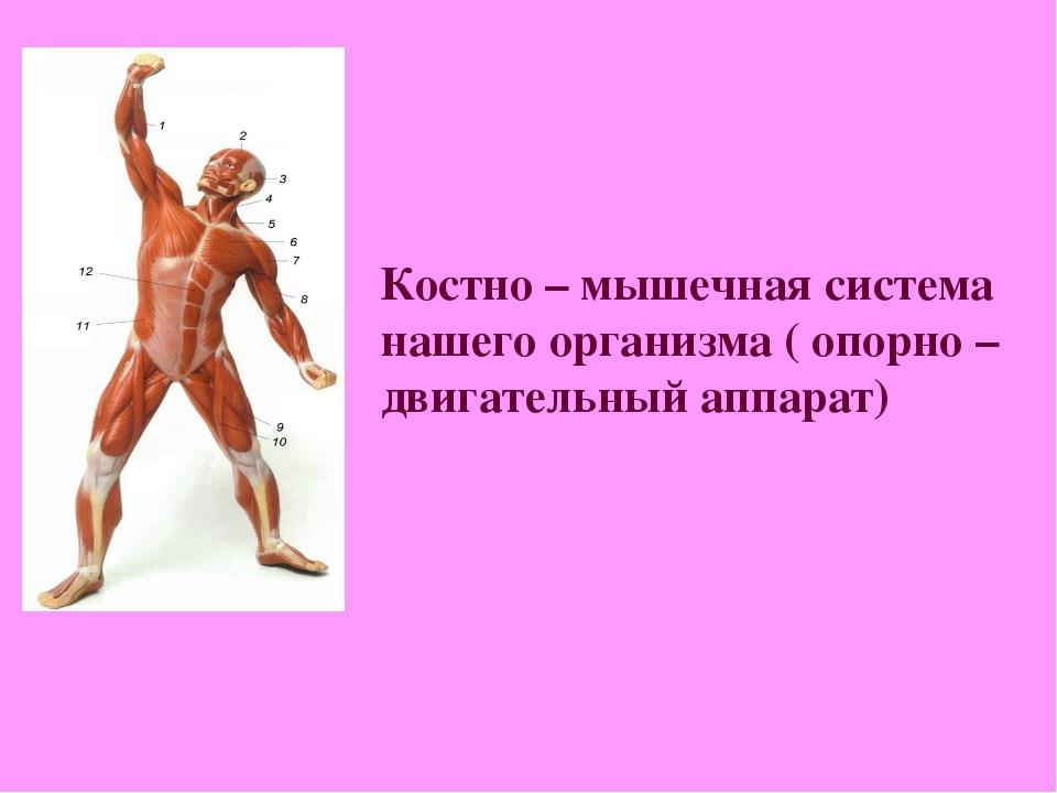 Костно – мышечная система нашего организма ( опорно – двигательный аппарат)