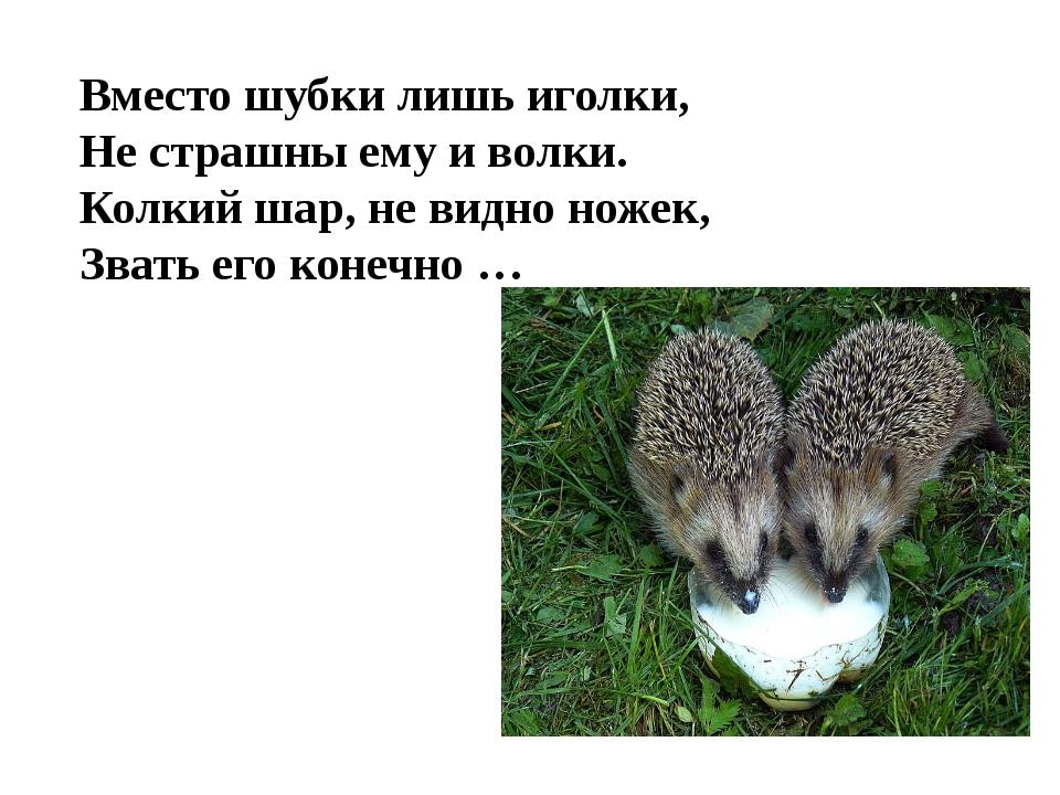 Вместо шубки лишь иголки, Не страшны ему и волки. Колкий шар, не видно ножек,...