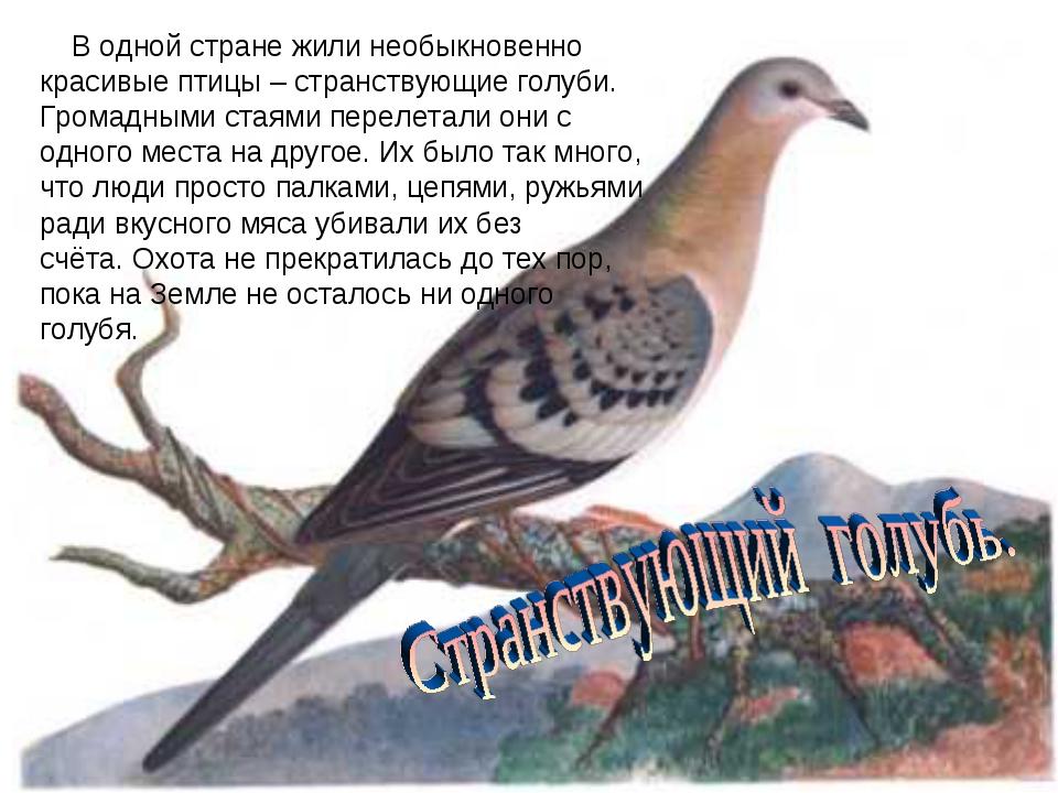 В одной стране жили необыкновенно красивые птицы – странствующие голуби. Гро...