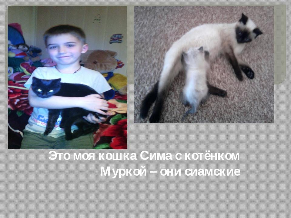 Это моя кошка Сима с котёнком Муркой – они сиамские