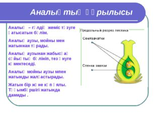 Аналықтың құрылысы Аналық – гүлдің жеміс түзуге қатысатын бөлім. Аналық аузы