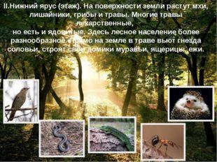II.Нижний ярус (этаж). На поверхности земли растут мхи, лишайники, грибы и тр