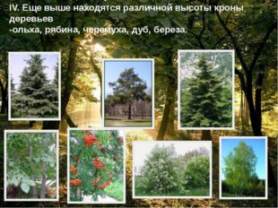 IV. Еще выше находятся различной высоты кроны деревьев -ольха, рябина, черему