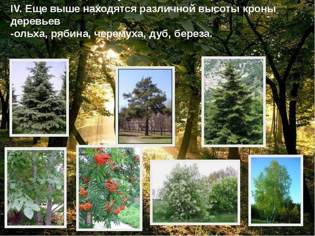IV. Еще выше находятся различной высоты кроны деревьев -ольха, рябина, черему...
