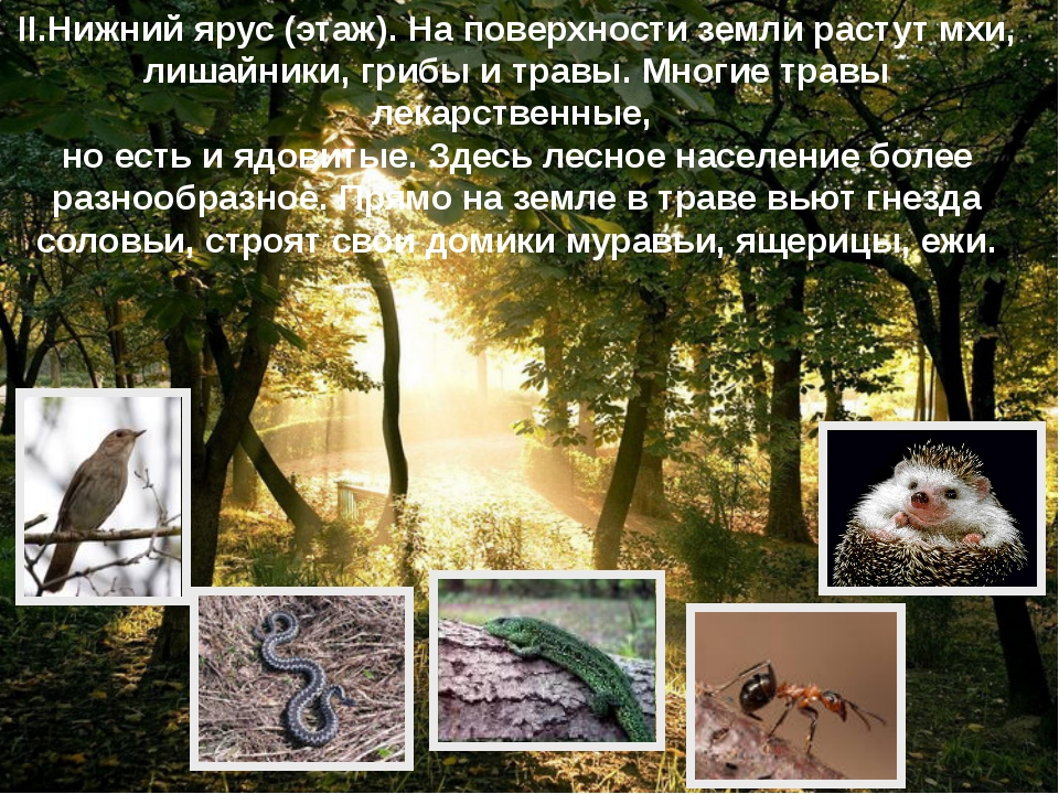 II.Нижний ярус (этаж). На поверхности земли растут мхи, лишайники, грибы и тр...