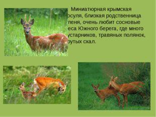 Миниатюрная крымская косуля, близкая родственница оленя, очень любит сосновы