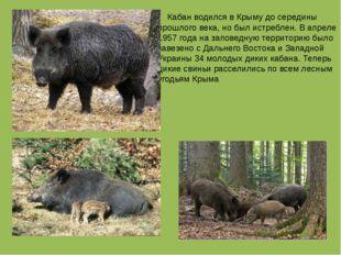 Кабан водился в Крыму до середины прошлого века, но был истреблен. В апреле