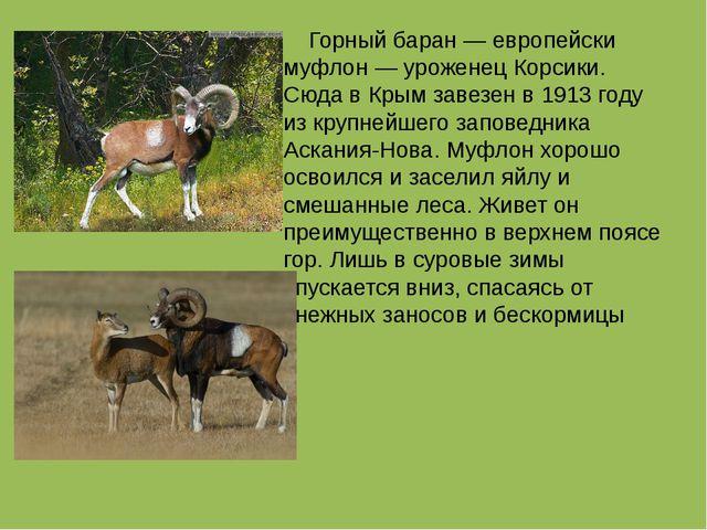 Горный баран — европейски муфлон — уроженец Корсики. Сюда в Крым завезен в 1...