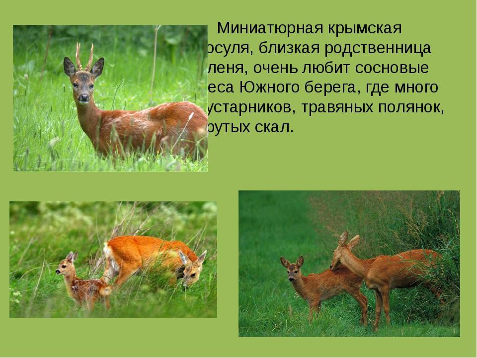 Миниатюрная крымская косуля, близкая родственница оленя, очень любит сосновы...