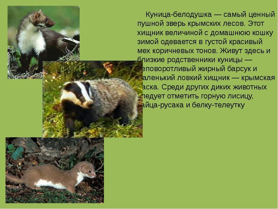 Куница-белодушка — самый ценный пушной зверь крымских лесов. Этот хищник вел...