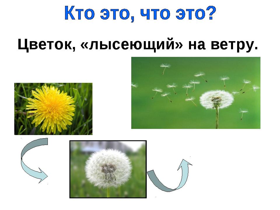 Цветок, «лысеющий» на ветру.