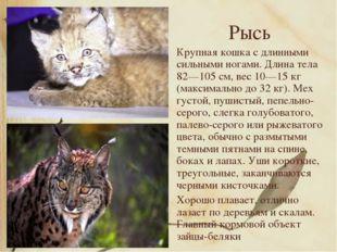 Рысь Крупная кошка с длинными сильными ногами. Длина тела 82—105 см, вес 10—1