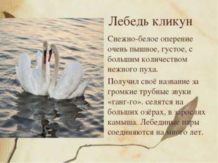 Лебедь кликун Снежно-белое оперение очень пышное, густое, с большим количеств
