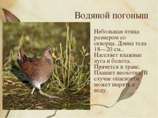 Водяной погоныш Небольшая птица размером со скворца. Длина тела 18—20 см.. На