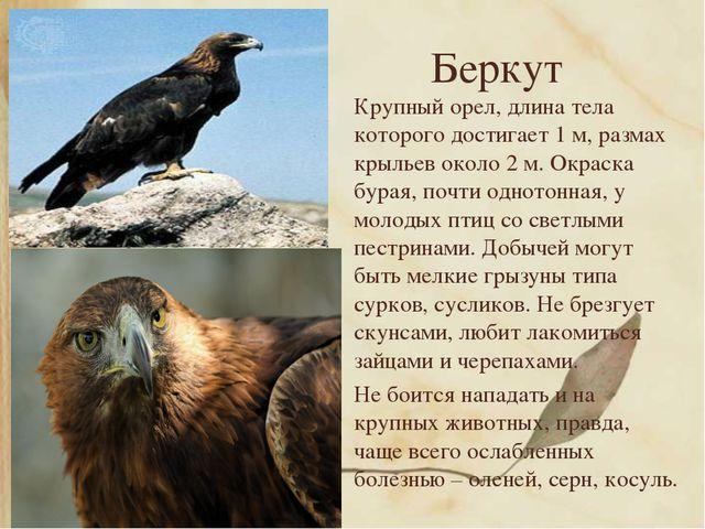Беркут Крупный орел, длина тела которого достигает 1 м, размах крыльев около...
