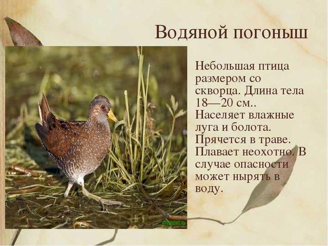 Водяной погоныш Небольшая птица размером со скворца. Длина тела 18—20 см.. На...
