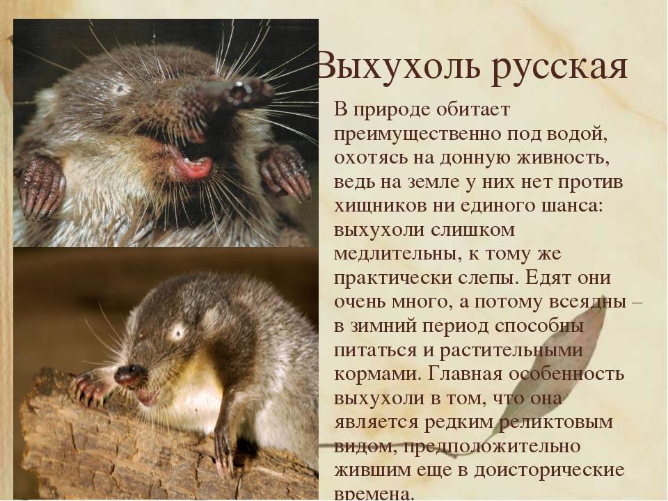 Выхухоль русская В природе обитает преимущественно под водой, охотясь на донн...