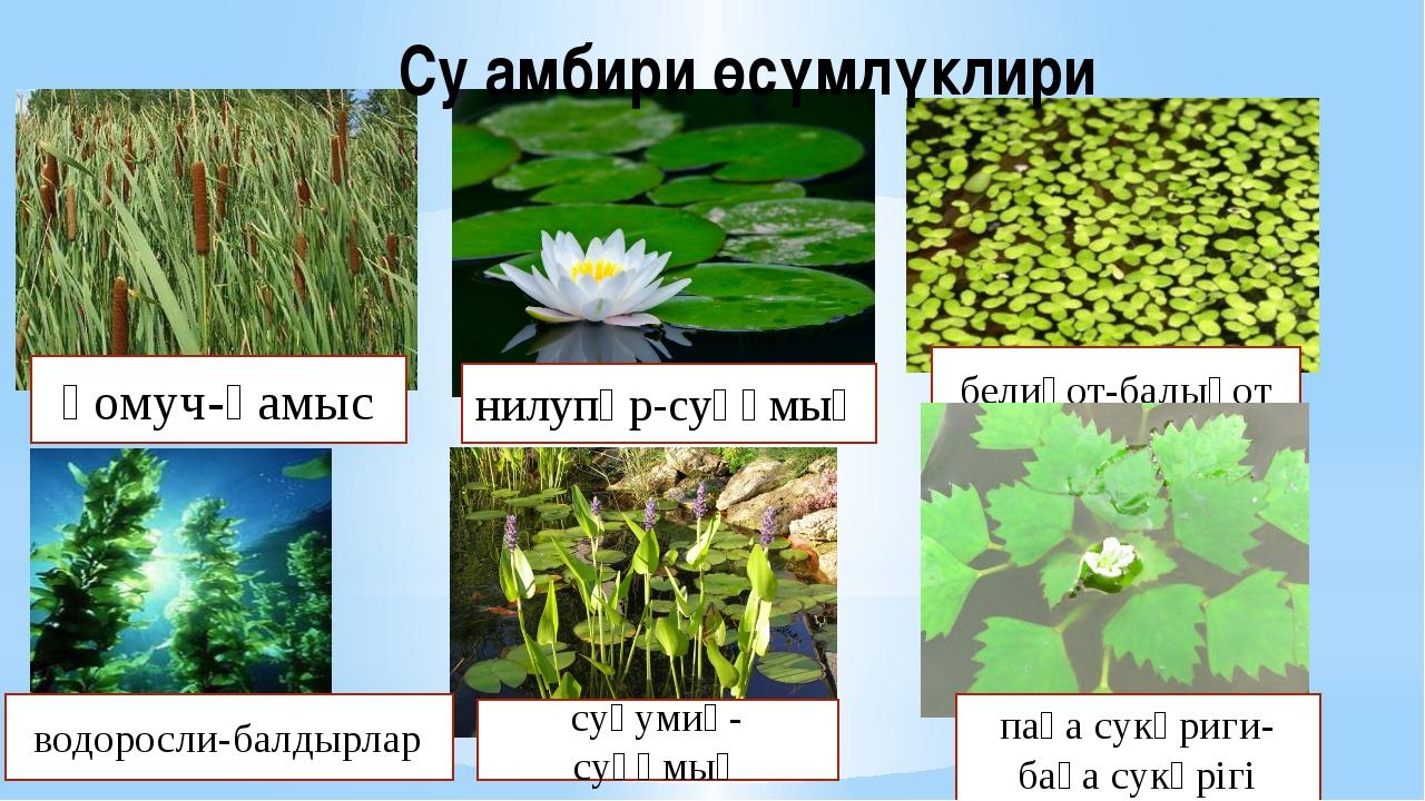 Су амбири өсүмлүклири қомуч-қамыс водоросли-балдырлар нилупәр-суқұмық белиқот...