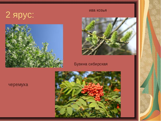 2 ярус: черемуха Бузина сибирская ива козья
