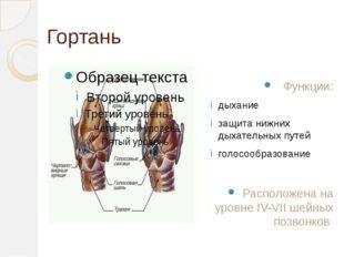 Гортань Функции: дыхание защита нижних дыхательных путей голосообразование Ра