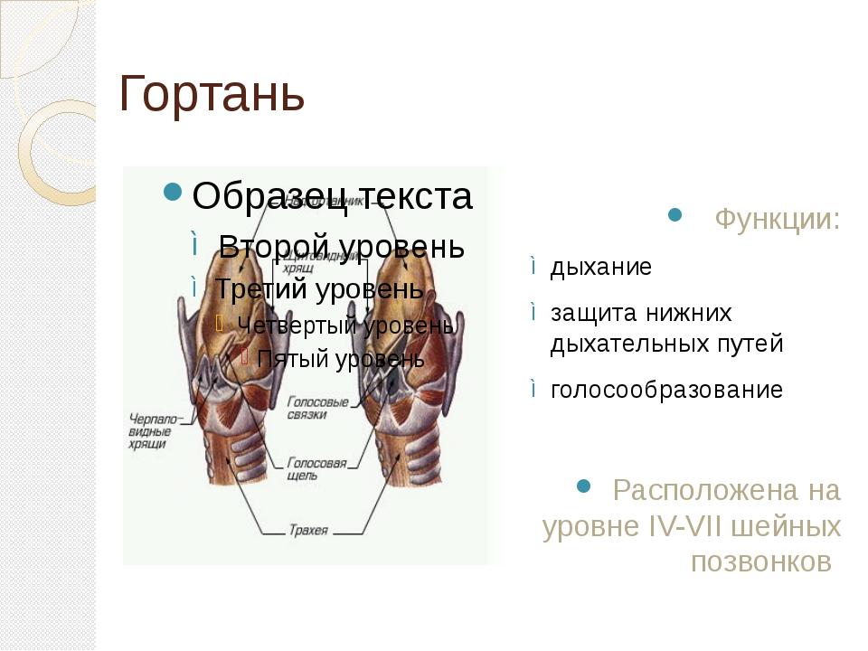 Гортань Функции: дыхание защита нижних дыхательных путей голосообразование Ра...