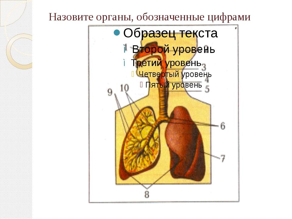 Назовите органы, обозначенные цифрами