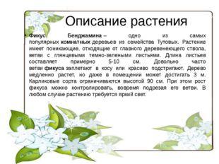 Описание растения Фикус Бенджамина– одно из самых популярныхкомнатныхдерев