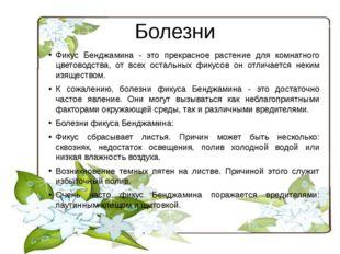 Болезни Фикус Бенджамина - это прекрасное растение для комнатного цветоводств