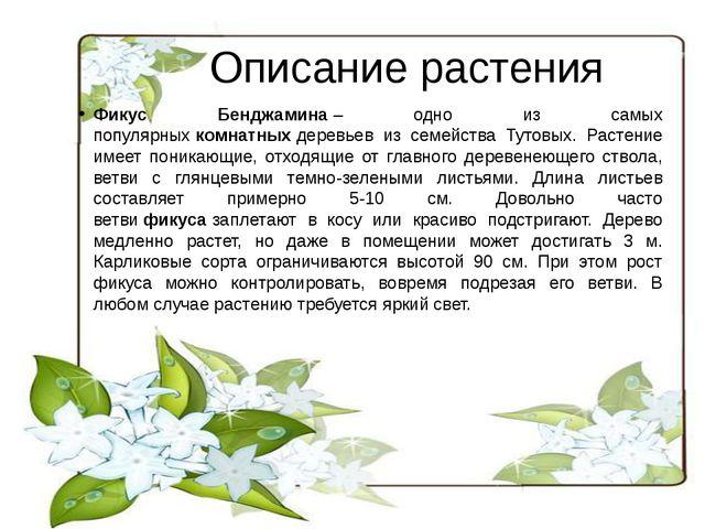 Описание растения Фикус Бенджамина– одно из самых популярныхкомнатныхдерев...