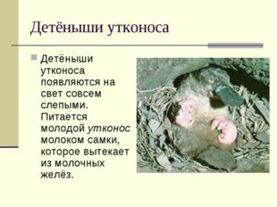 Детёныши утконоса Детёныши утконоса появляются на свет совсем слепыми. Питает