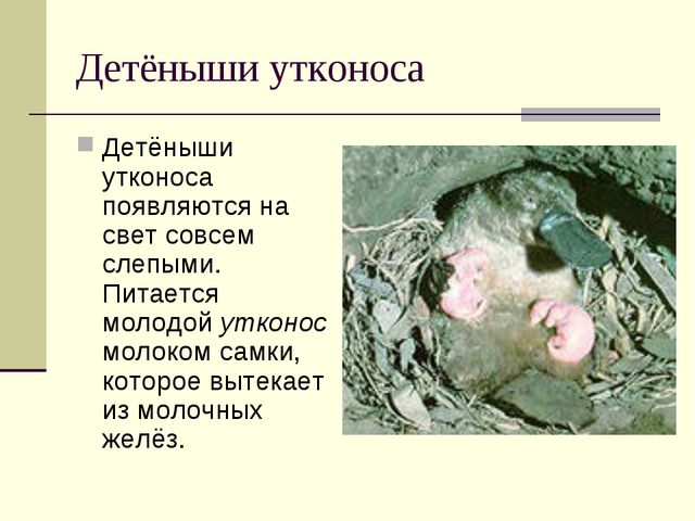 Детёныши утконоса Детёныши утконоса появляются на свет совсем слепыми. Питает...