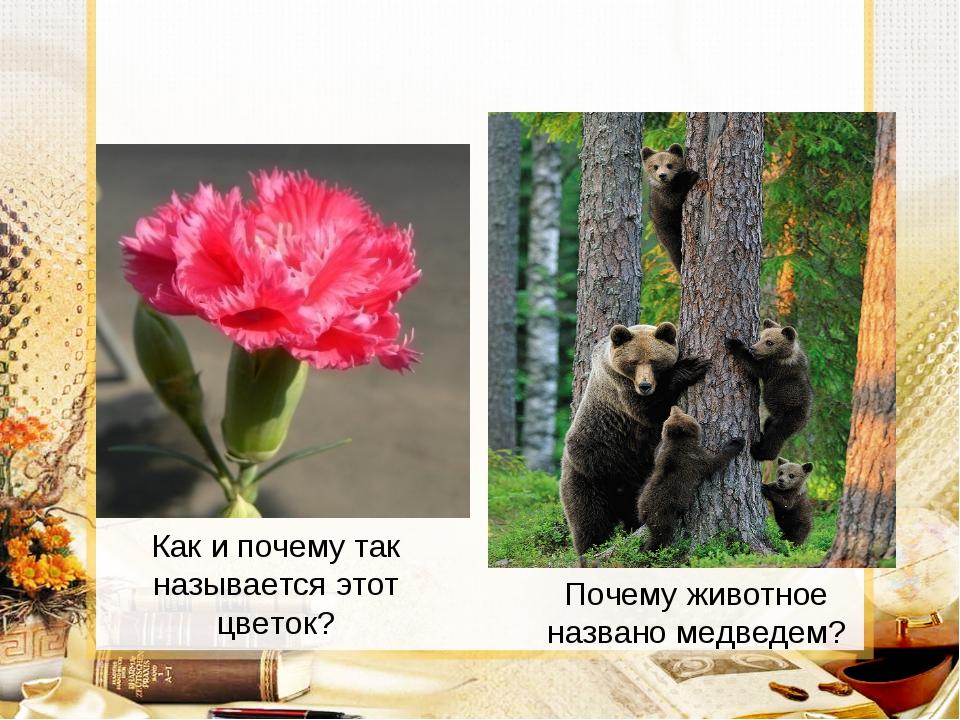 Как и почему так называется этот цветок? Почему животное названо медведем?