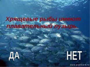 Хрящевые рыбы имеют плавательный пузырь.