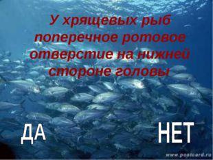 У хрящевых рыб поперечное ротовое отверстие на нижней стороне головы