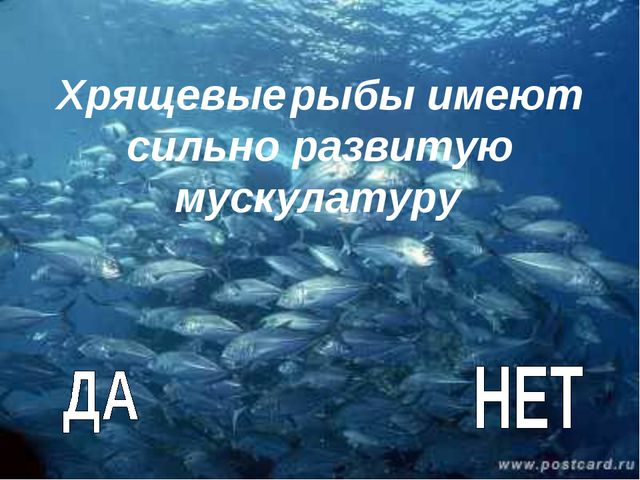 Хрящевые рыбы имеют сильно развитую мускулатуру