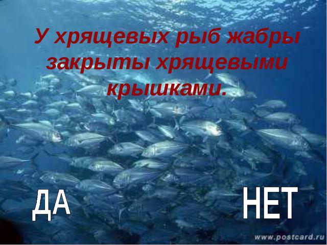У хрящевых рыб жабры закрыты хрящевыми крышками.